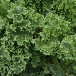 Kale: Red & Green