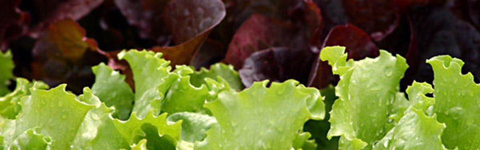 Lettuce : Romaine, Green and Red Leafy